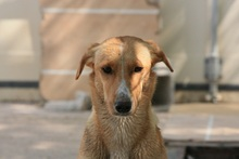 CANDELA, Hund, Podenco-Mix in Spanien - Bild 5