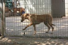 CANDELA, Hund, Podenco-Mix in Spanien - Bild 6