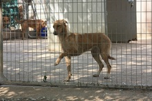 CANDELA, Hund, Podenco-Mix in Spanien - Bild 7