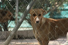 CANDELA, Hund, Podenco-Mix in Spanien - Bild 8