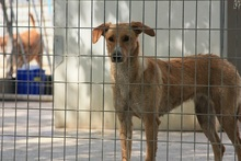 CANDELA, Hund, Podenco-Mix in Spanien - Bild 9