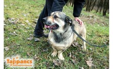 REVESZ, Hund, Dackel-Mix in Ungarn - Bild 2