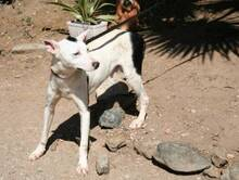 KIKO, Hund, Podenco-Mix in Spanien - Bild 3