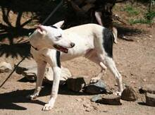 KIKO, Hund, Podenco-Mix in Spanien - Bild 4
