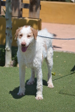 BOSTON, Hund, Mischlingshund in Spanien - Bild 23