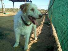 BOSTON, Hund, Mischlingshund in Spanien - Bild 44