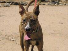 CALAY, Hund, Podenco-Mix in Spanien - Bild 4