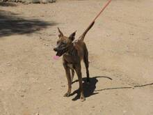CALAY, Hund, Podenco-Mix in Spanien - Bild 5