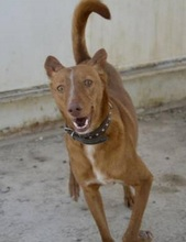 JOY, Hund, Podenco in Spanien - Bild 1