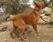 JOY, Hund, Podenco in Spanien - Bild 10