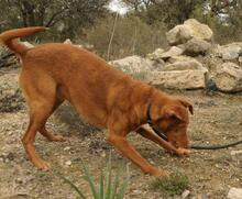 JOY, Hund, Podenco in Spanien - Bild 11