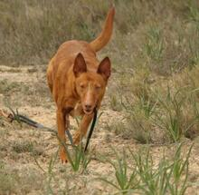 JOY, Hund, Podenco in Spanien - Bild 12