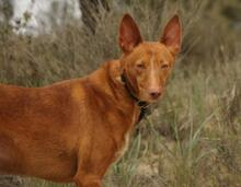 JOY, Hund, Podenco in Spanien - Bild 13