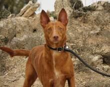 JOY, Hund, Podenco in Spanien - Bild 14