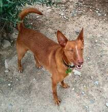 JOY, Hund, Podenco in Spanien - Bild 4