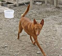 JOY, Hund, Podenco in Spanien - Bild 5