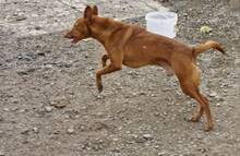 JOY, Hund, Podenco in Spanien - Bild 6