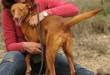 JOY, Hund, Podenco in Spanien - Bild 7