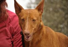 JOY, Hund, Podenco in Spanien - Bild 8
