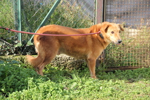 BLONDINO, Hund, Golden Retriever-Mix in Italien - Bild 2