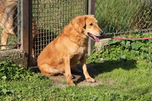 BLONDINO, Hund, Golden Retriever-Mix in Italien - Bild 3