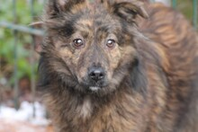 MERIANA, Hund, Sheltie-Mix in Lohra-Reimershausen - Bild 1