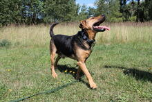 LAURIN, Hund, Jagdhund-Mix in Polen - Bild 3