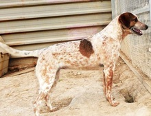 SONDRO, Hund, Pointer-Mix in Spanien - Bild 1